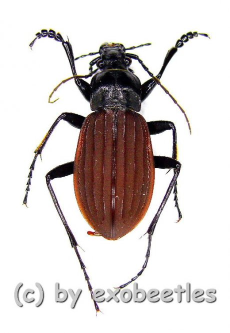 Carabus ( Aulonocarabus ) canaliculatus jankowskiellus  ( 25 - 29 )