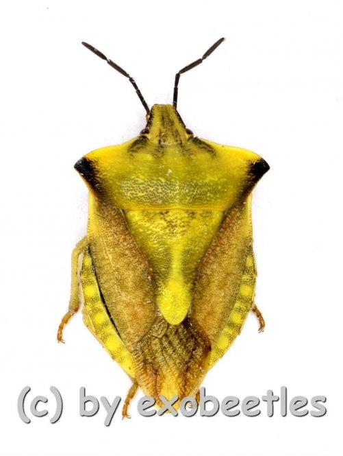 Caprocoris fascispinus  ( 10 – 14 )