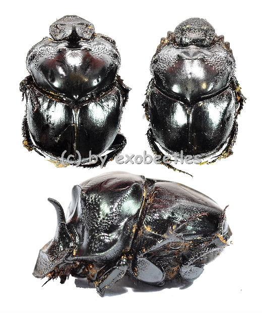 Catharsius spec.  ( 15 - 24 )