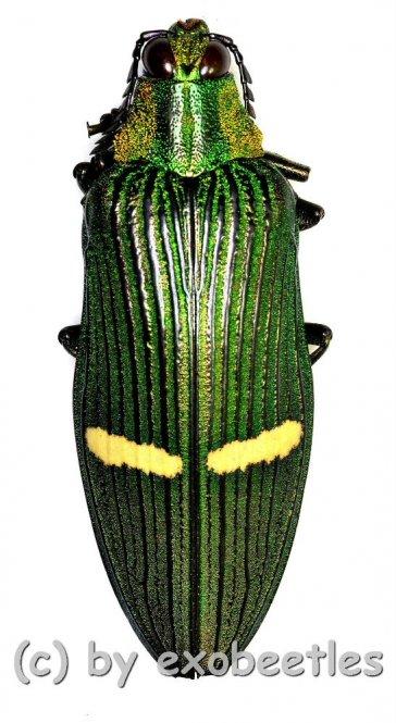 Catoxantha opulenta opulenta  ( 40 – 44 )