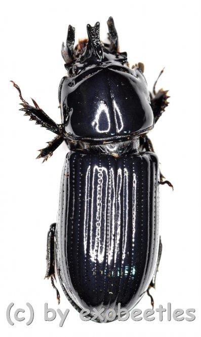 Ceracupes arrowi  ( 15 – 19 )