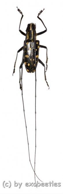 Cerambycidae spec. #54  ( 25 - 29 )