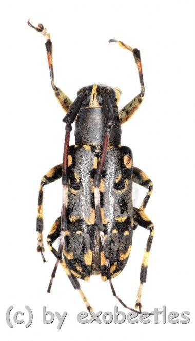 Cerambycidae spec. #60  ( 15 - 19 )  A2