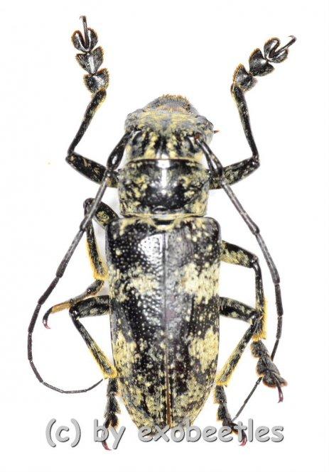 Cerambycidae spec. #62  ( 20 - 24 )