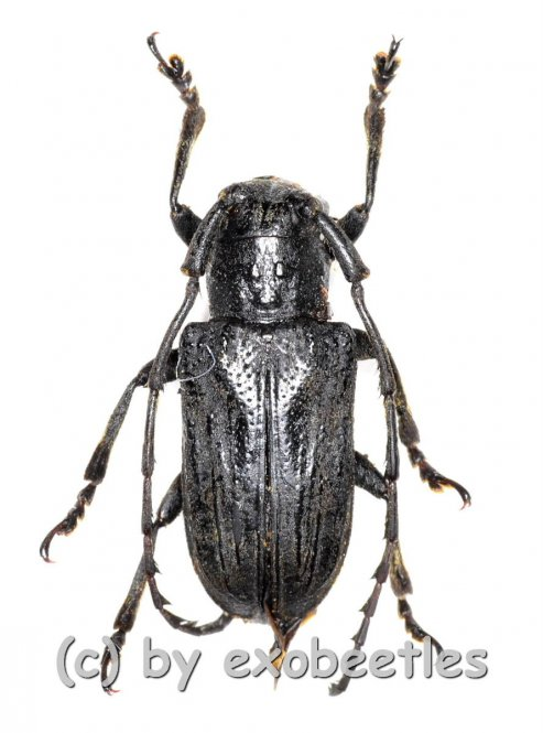 Cerambycidae spec. #64  ( 20 - 24 )