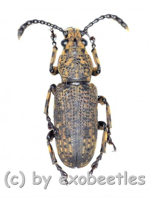 Cerambycidae spec. #66  ( 15 - 19 )