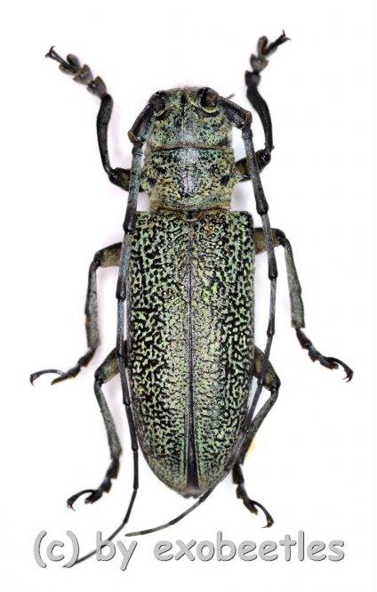 Cerambycidae spec. #82  ( 25 - 29 )