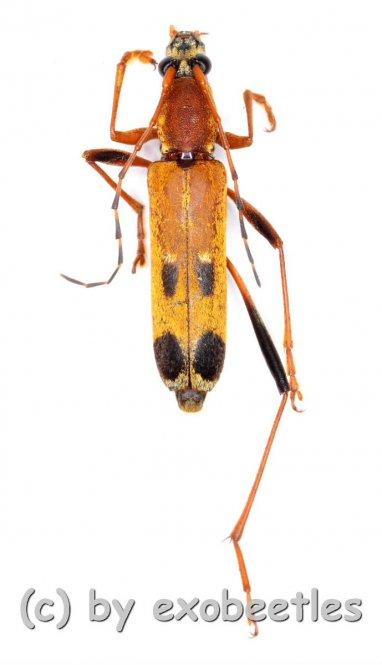 Cerambycidae spec. #85  ( 10 – 14 )  A2