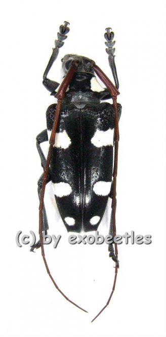 Cereopsius luctor