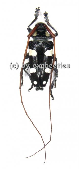 Cereopsius luctor  A2