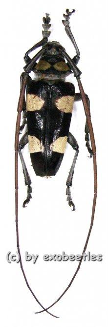 Cereopsius luhuanus