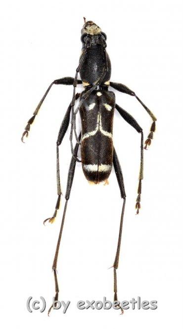 Ceresium spec.  ( 10 – 14 )