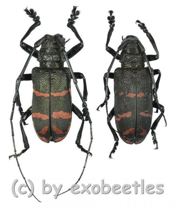 Ceroplesis militaris irregularis  ( M 35 - 39 )