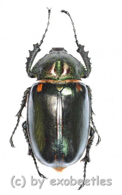 Cheirotonus jansoni  ( 55 - 59 )