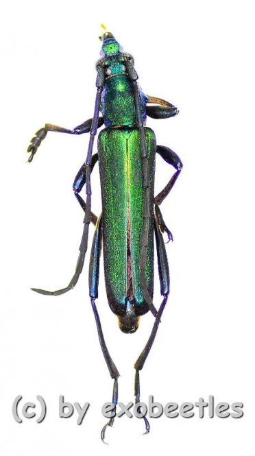 Cheliodonium unonotalicollis  ( 20 – 24 )  A2