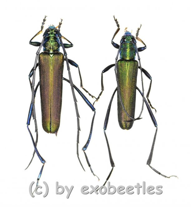 Chloridolum spec. #1  ( M 30 - 34 )
