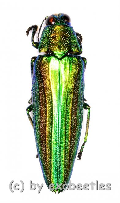 Chrysochroa baudoni  ( 25 – 29 )