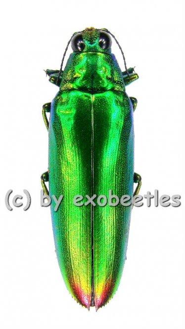 Chrysochroa fulminans  ( 30 – 34 )