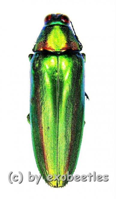 Chrysochroa rajah thailandica  ( 30 – 34 )