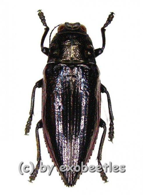 Chrysodema elongata  ( 25 - 29 )