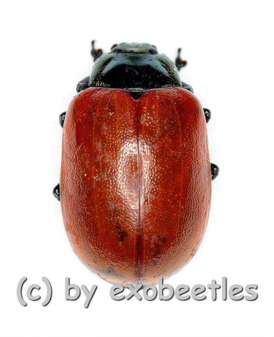 Chrysomala ( Melasoma ) popula  ( 5 – 9 )