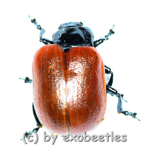 Chrysomala ( Melasoma ) popula ( Freak )  ( 8 )