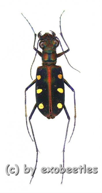 Cicindela ( Cosmodela ) aurulenta aurulenta  ( 15 - 19 )