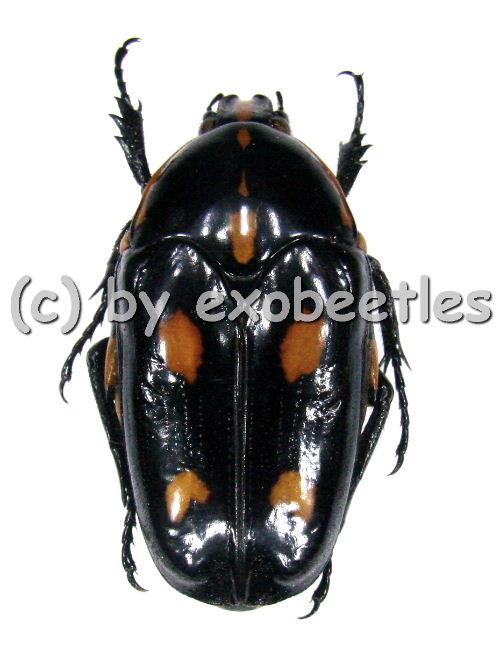 Clerota budda  ( 30 - 34 )