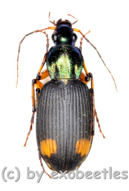 Craspedophorus laticollis  ( 10 – 19 )
