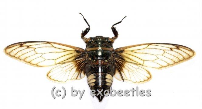 Cryptotympana acuta ( Spread )