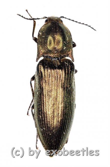 Ctendera cuprea  ( 15 – 19 )