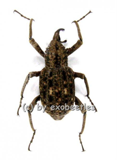Curculionidae spec. #3