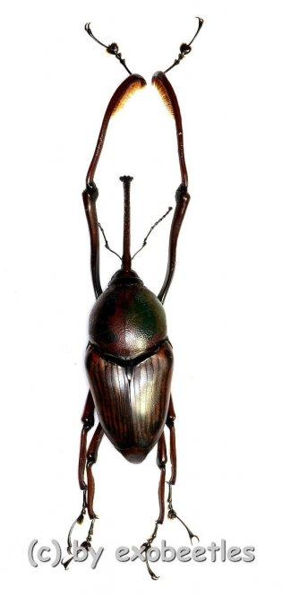 Curculionidae spec. #52  ( 45 – 49 )