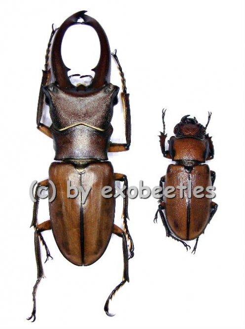 Cyclommatus alagari  ( M 50 - 54 )
