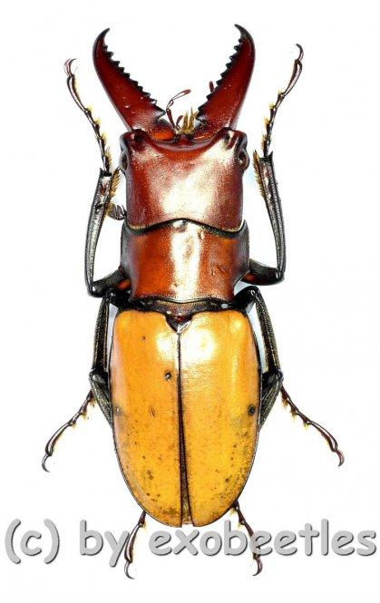 Cyclommatus bicolor ( amphiodonte )  ( 25 – 29 )
