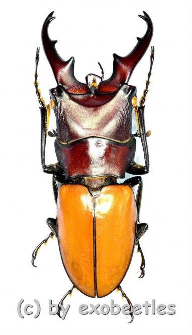 Cyclommatus bicolor ( telodonte )  ( 30 – 34 )