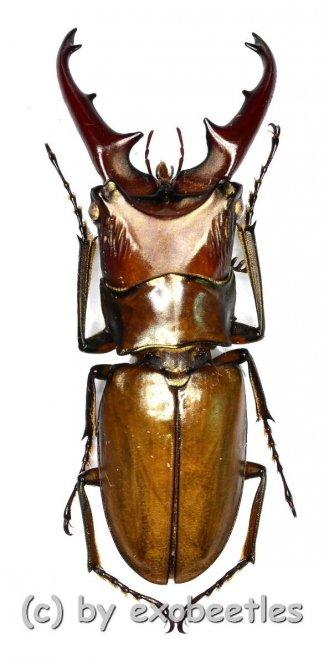 Cyclommatus nagaii  ( 30 – 34 )
