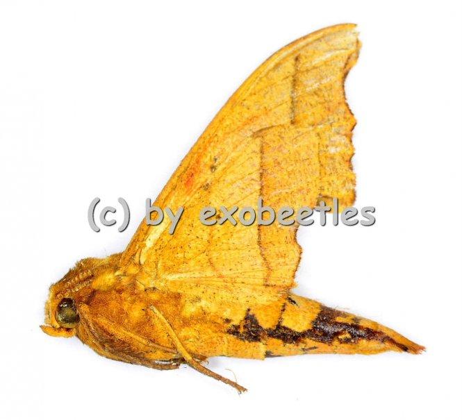 Cypa lateritia  A2