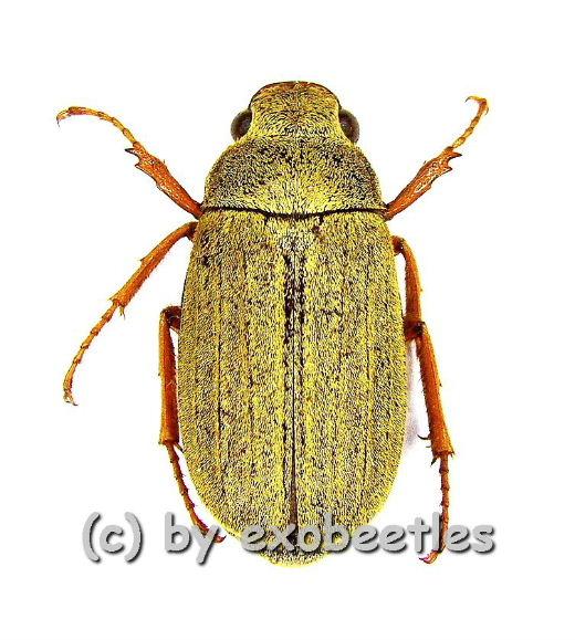 Cyphochilus spec. #2  ( 20 - 24 )  A1-