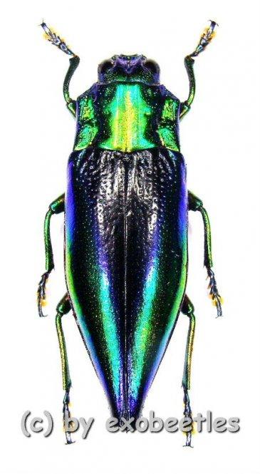 Cyphogastra calepyga  ( 20 - 29 )