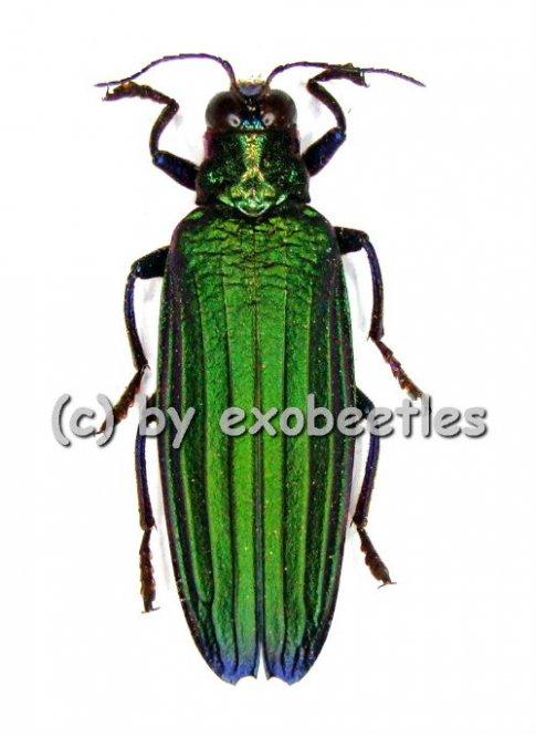 Demochroa detanii  ( 30 - 39 )