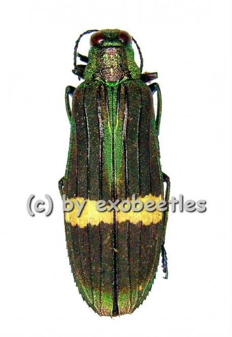 Demochroa gratiosa gratiosa  ( 25 – 29 )