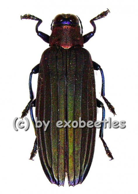 Demochroa lacordairei  ( 30 – 44 )  A2