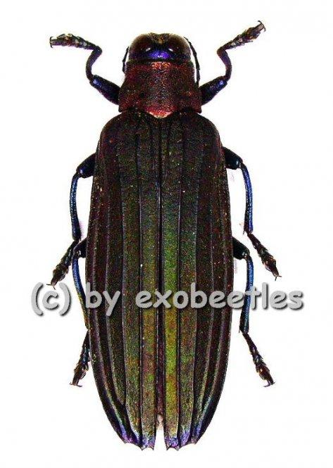 Demochroa lacordairei  ( 30 – 44 )