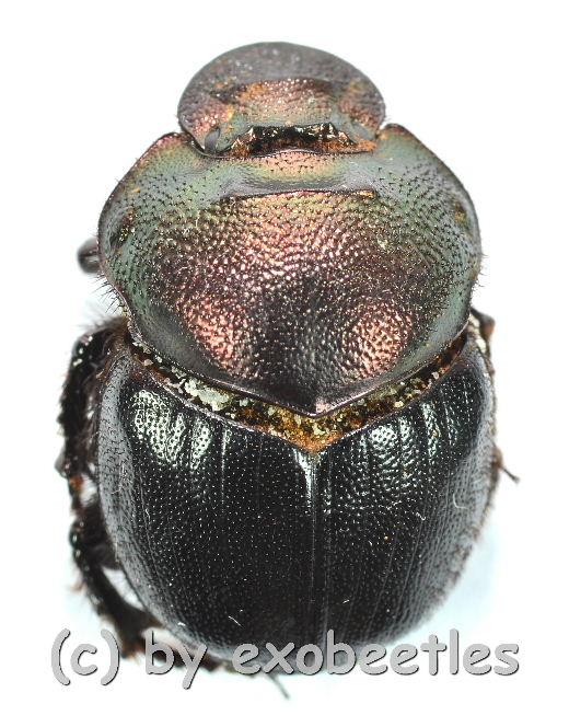 Diastellopelpus tridens  ( 15 - 19 )