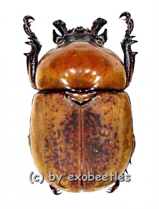 Dicaulocephalus fruhstorferi  ( 20 - 24 )