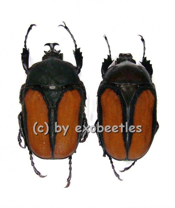 Dicellachilus woodi