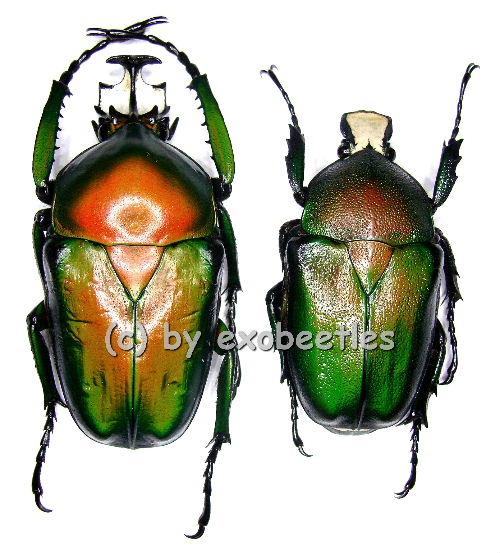 Dicronorhina derbyana ssp.oberthueri ( M = rötliche var. )  ( M 35 - 39 )  A1-
