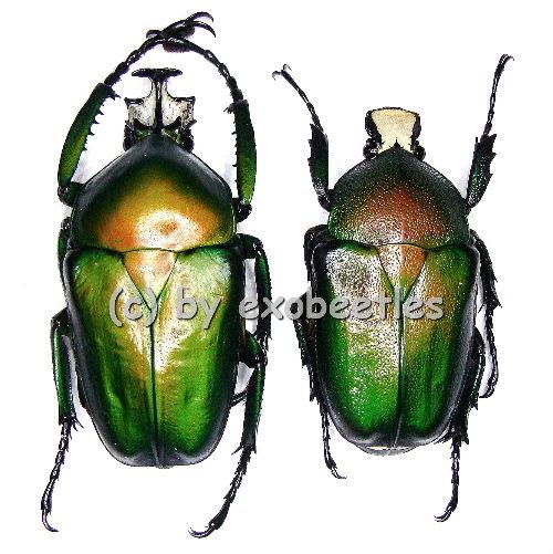 Dicronorhina derbyana ssp.oberthueri  ( M 40 - 44 )