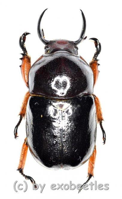 Didrepanephorus yunnanus clermonti  ( 20 – 24 )